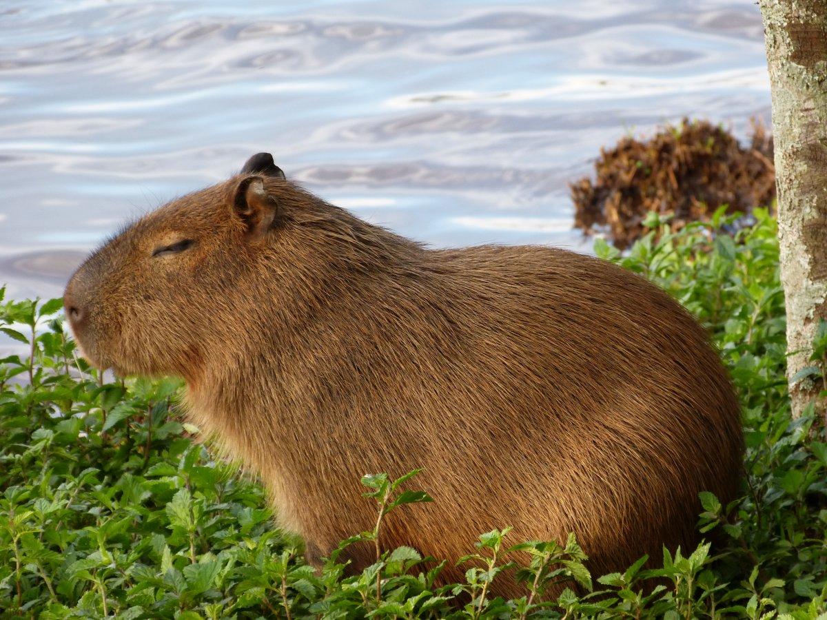 [Obrazek: kapibara.jpg]