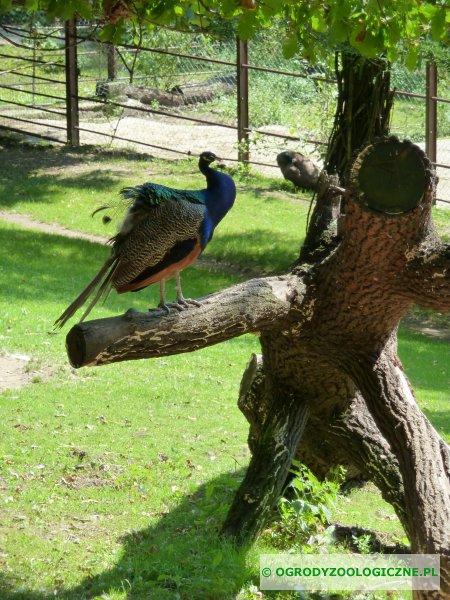 Paw przesiadujący na drzewie