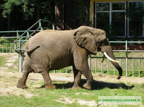 spacerujący słoń